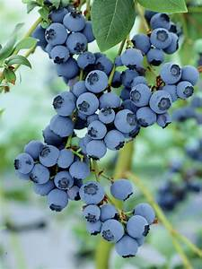 How to Grow Blueberries | HGTV