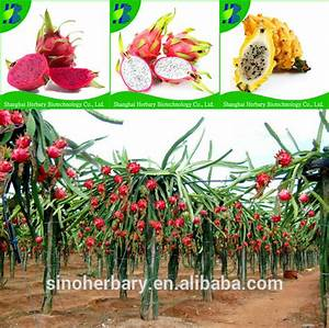 High Germination Percentage Yellow Dragon Fruit Seeds For ...
