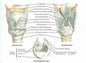 Medical Images  Larynx