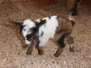 Baby Miniature Goat | www.imgkid.com - The Image Kid Has It!