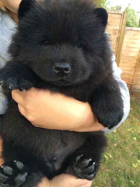 black puppy chow chow