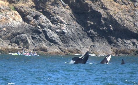 Orcas All Around! Killer Whales Spotted In The San Juan