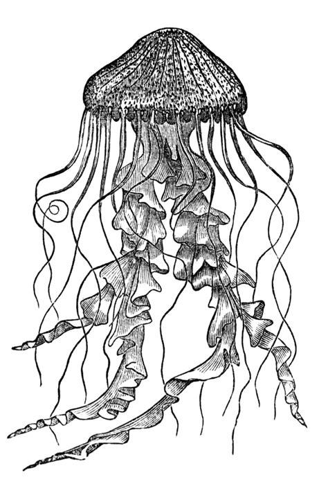 Jellyfish | ClipArt ETC
