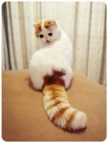 snoopy cat snoopy cat the most cutest cat breed in world cutest cats