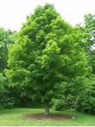 sugar maple hard m...Sugar Maple Tree