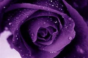 Purple Roses Wallpapers - Wallpaper Cave
