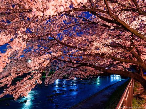 japanese cherry blossom desktop wallpapers desktop background