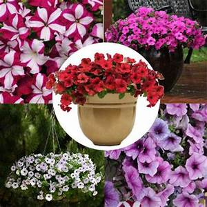 Petunia Easy Wave Novelty Collection F1 – Harris Seeds