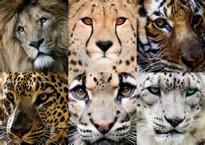 big cat the 6 big cats of asia by legend tony980 on deviantart