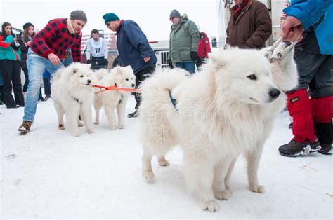 Samoyed Dogsled Race Editorial Stock Image Image Of