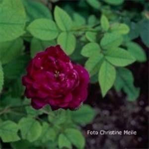 Alte Rosensorten Stark Duftend : rosensorten duftrosen op opa p tschke open arms ~ Michelbontemps.com Haus und Dekorationen