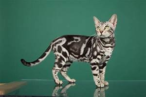 Image Gallery marbled tabby