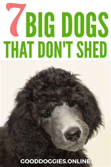 large dogs that shed large breeds that don t shed 7 non shedding dogs