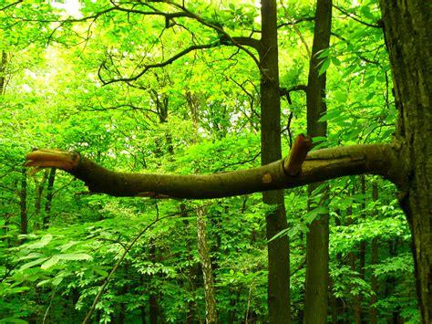stickers muraux branche d arbre branche d arbre cass 233 e dans la for 234 t benoit theodore flickr