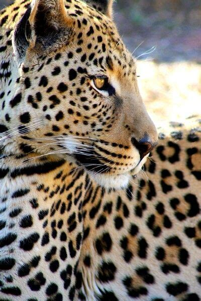 amazing jaguar s 1719 best images about amazing animals on