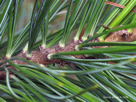 pinus cembra swiss stone pine photo gallery
