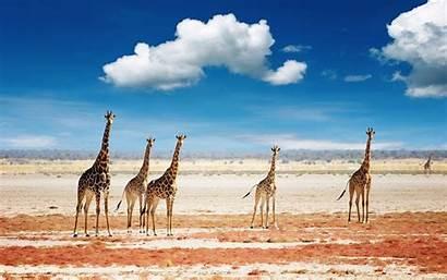 Africa Desktop Wallpapers Backgrounds Background African Safari