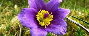 South Dakota State Flower - The Pasque - ProFlowers Blog