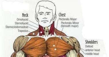 Field guide to the human body however, once you know that muscle names are latin phrases, you can use them as shortcuts to. Pin on workingout