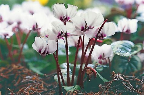 Top 10 Winter Bloomers For Your Flower Garden