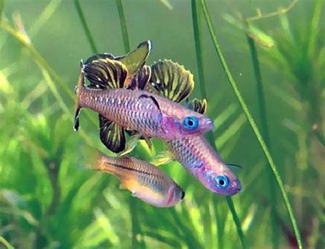 blue eyed tenellus tropical rainbowfish arizona aquatic