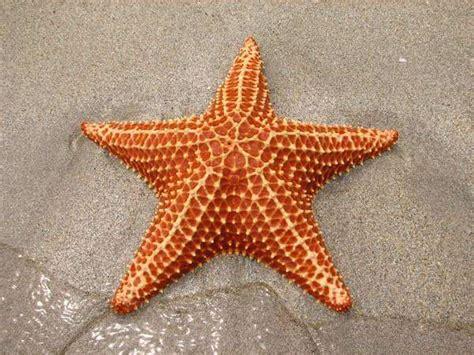 linimasaposisi bintang laut