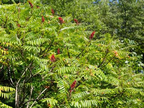 sumac trees foraged flavor all about sumac