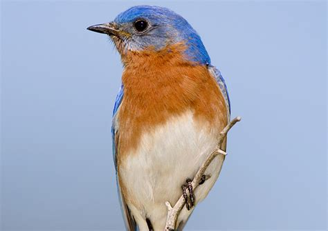 bluebird eastern bluebird information for kids