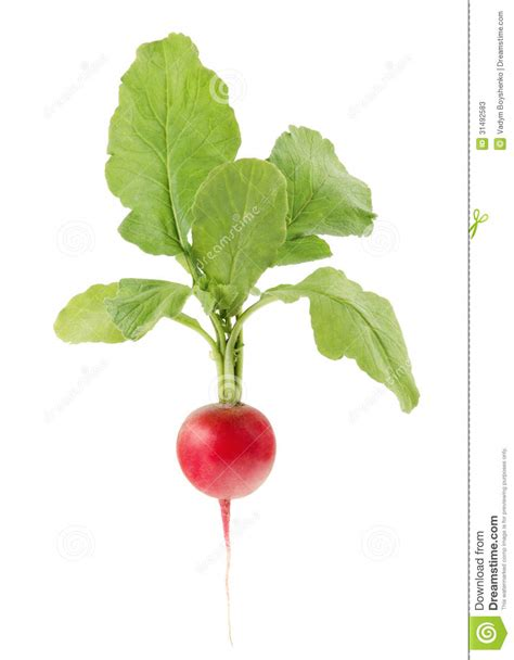 cuisiner le radis blanc radis sur le fond blanc photos stock image 31492583