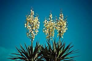 Yucca Palme Winterhart : free photo yucca palm blossom bloom flora free ~ A.2002-acura-tl-radio.info Haus und Dekorationen