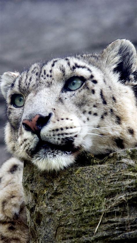 snow leopard iphone   wallpaper gallery