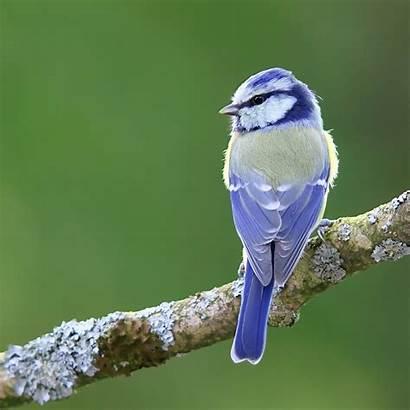 Birds Bird Cyanistes Caeruleus Viatour Luc Aves