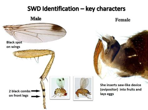 Agriculturally Important Invasive Insect Species Of Ny