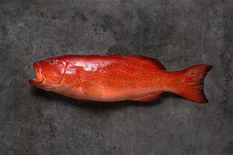 grouper yellow seafood desktop skin its wallpapers