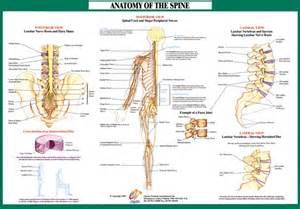 Lumbar Spine Nerve Anatomy