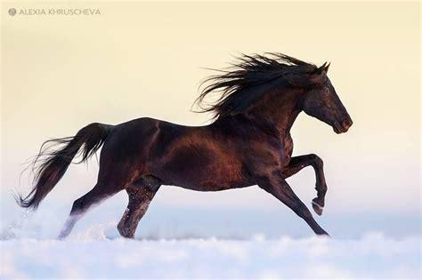 horses andalusian stallion damasco ii scarlettjane22