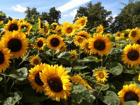 sun flower garden hton court flower show lacer s life