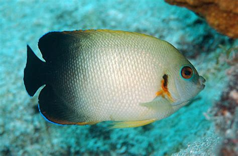 pearlscale angelfish information  picture sea animals