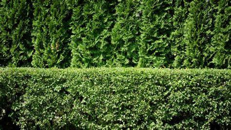 privacy plants  screening  yard  style