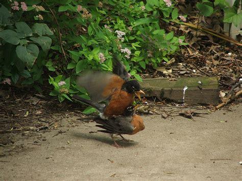 mating robins flickr photo sharing