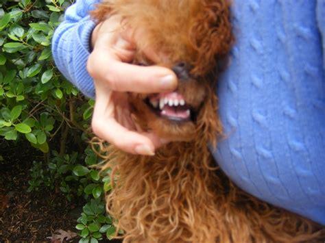 teeth   breeders disclose page  poodle