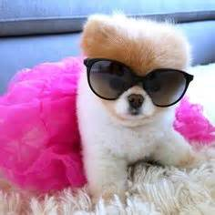 169 best boo the pomeranian images dogs boo