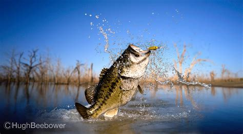 Images Of Bass Fish Big Bass Wallpaper Wallpapersafari