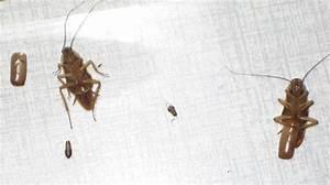 Schaben In Der Wohnung : ungeziefer kakerlake simple kakerlaken in der wohnung je nobler wohnung desto mehr ungeziefer ~ Eleganceandgraceweddings.com Haus und Dekorationen