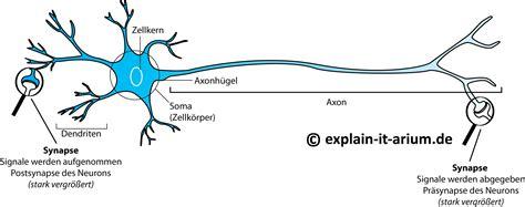 neurobiologie 1 aufbau einer nervenzelle explain it arium