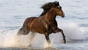 Brown horse running through water | HD Animals Wallpapers