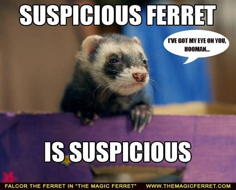 Ferret Memes - 1779 best images about animals on pinterest