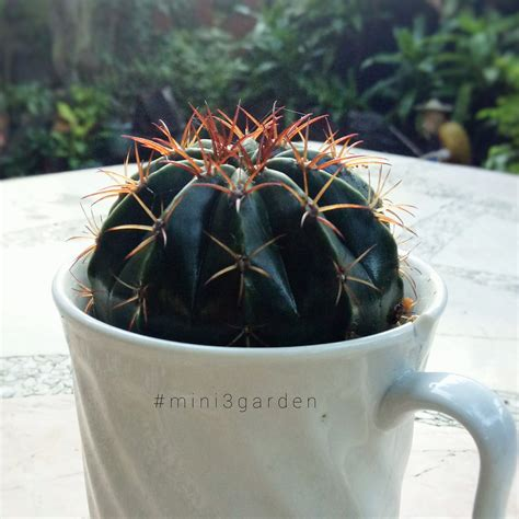 รับ #melocactus สักแก้วไหมคะ 😁☕ #เมโลแคคตัส #mini3garden #Cactusway . . . #succulents #cactus # ...
