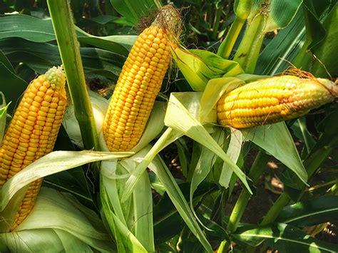 Crop Conditions Decline, Corn Maturity Delayed   Agweb.com