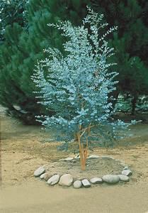 Eucalyptus En Pot : est ce que je peux planter un eucalyptus gunnii en france ~ Melissatoandfro.com Idées de Décoration